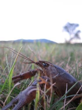 Crayfish_Thorn1
