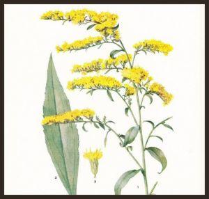 goldenrod (1)
